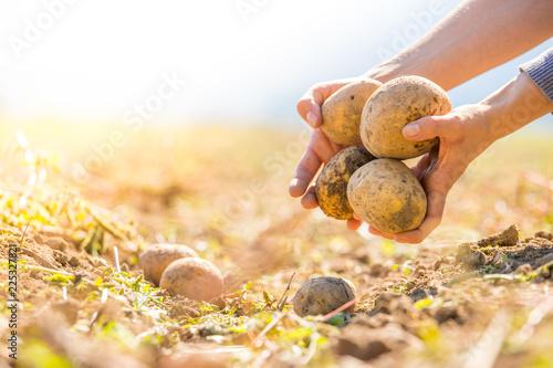 Bauer hält reife, saftige Kartoffeln in den Händen,  geerntetem Kartoffelfeld