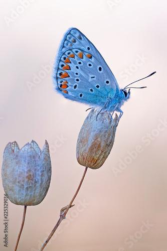 Foto op Plexiglas Vlinder Argo azzurro (Polyommatus icarus)