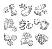 Hand Drawn Vegetables. Garden Cauliflower, Pepper And Eggplant, Champignons. Fresh Vegan Products. Sketch Vegetable Vector Isolated Set. Illustration Of Champignon And Cucumber, Cabbage And Mushroom