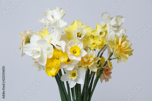 Spring bouquet of daffodils isolated on a gray background.