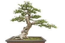 Isolated Bonsai Pine Tree