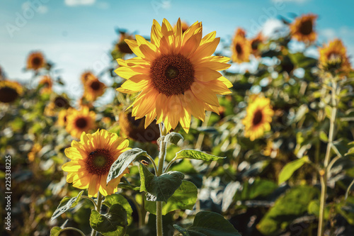Foto op Canvas Bloemen beautiful, colorful sunflowers grow