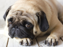 Sad Pug Dog With Big Eyes Lying On Wooden Floor