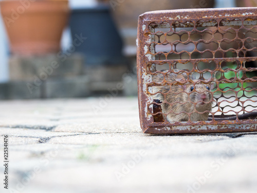 Fotografie, Obraz  The rat was in a cage catching
