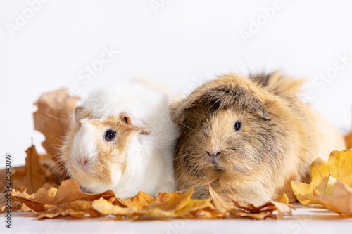Fotografía  Adorable guinea pigs isolated on white background