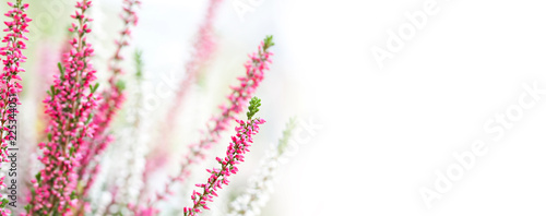 Fotobehang Lavendel White violet Heather flowers field Calluna vulgaris. Small pink lilac petal plants, shallow depth of field. Copy space.