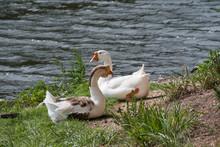 Sleepy Couple_Swan Geese