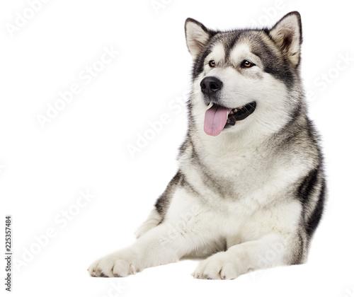 dog Alaskan malamute Canvas Print