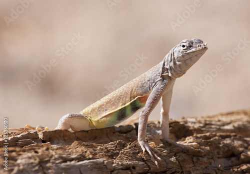 Photo  greater earless lizard
