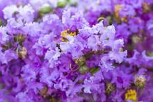 Purple Crape Myrtle Flower ( L...