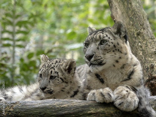 Tuinposter Luipaard Snow leopard, Uncia ounce, female with chicks