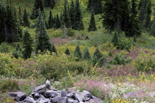 Marmot Overlooking Meadow, Par...