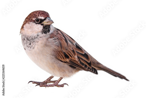 Fotomural Sparrow (Passer italiae), isolated, with white background