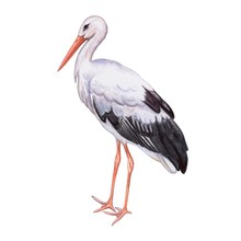 Stork White. Realistic Bird Is...