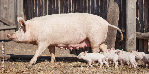 Happy yellow earth pig on the farm. Sow and piglet. Symbol of the Chinese New Year. Little piglet eat milk from mom. Mother pig takes care of the children. Cute animals. New Year come