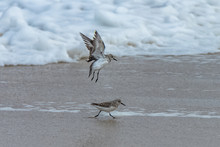Sanderlings, Birds Running And Flying On The Beach