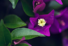 Macro Purple Bougainvillea