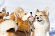 Adorable welsh corgi pembrokes walks outdoor at winter
