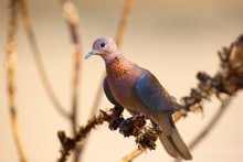 The Laughing Dove (Spilopelia ...