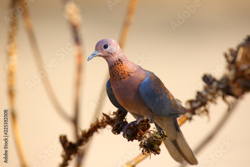 The laughing dove (Spilopelia senegalensis) sitting on the dry branch with brown background.