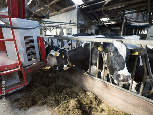 big red feeding robot and black and white spotted cows in barn on dutch farm in holland