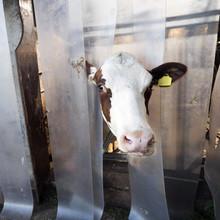 Red And White Holstein Cow Plays Peek A Boo Throug Plastic Flaps Inside Dutch Farm