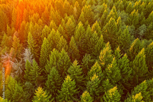 Fototapeten Wald Aerial view on a pine forest on sunset