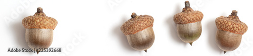 header acorns of an oak on a white background