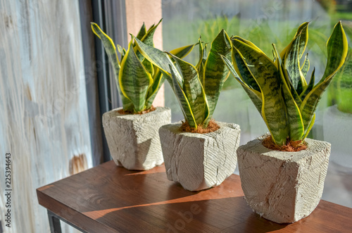 Three snake plants in creative clay pots on light grey grunge background