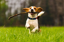 Dog Beagle With A Stick On A G...
