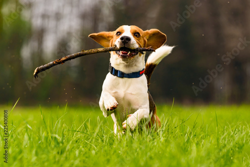 Fotografia Dog Beagle with a stick on a green field during spring runs towards camera