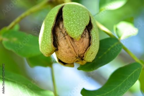 Fotografía Harvesting in the home garden, ripe walnut
