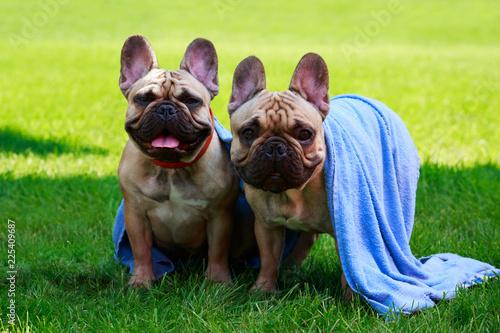 Foto op Plexiglas Franse bulldog Dog breed French Bulldog