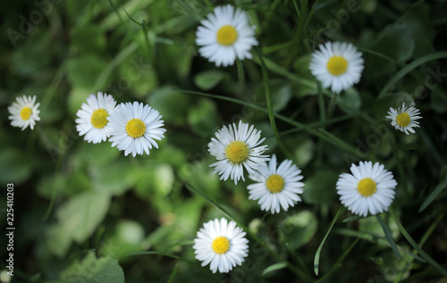 Foto op Canvas Madeliefjes white and yellow daisy flowers on green grass, macro aerial photography with - background and room for text, outdoors on a sunny summer day in Poland, Europe