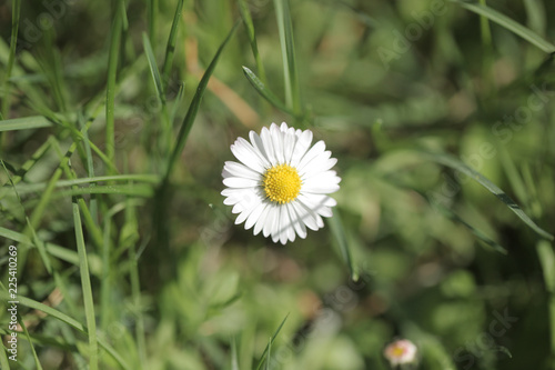 single white and yellow daisy flower macro aerial photography with green background and room for text, outdoors on a sunny summer day
