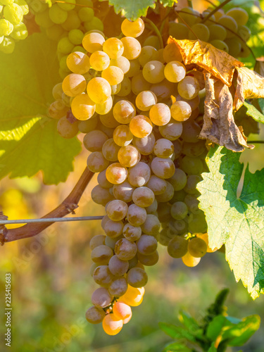 Foto op Plexiglas Wijngaard golden ripe grapes of Rkatsiteli in a vineyard before harvest, Kakheti, Georgia