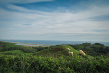 Sheep By The Sea