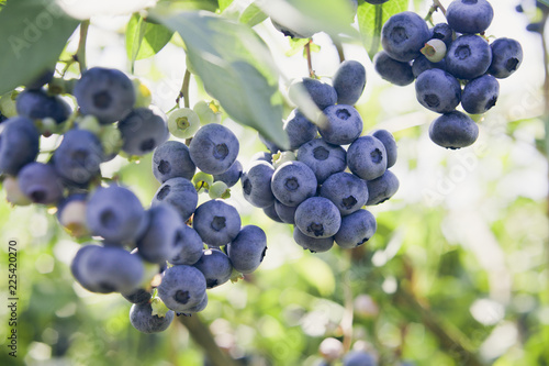 Blueberries - Vaccinium corymbosum, high huckleberry, blush with abundance of crop Fototapete