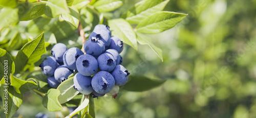 Jagody - Vaccinium corymbosum, borówka wysoka, rumieniec z dużą ilością plonów. Błękitne dojrzałe jagody owocowe na zdrowej zielonej roślinie. Plantacja żywności - pole jagodowe, sad.