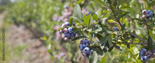 Canvas-taulu Blueberries - Vaccinium corymbosum, high huckleberry, blush with abundance of crop
