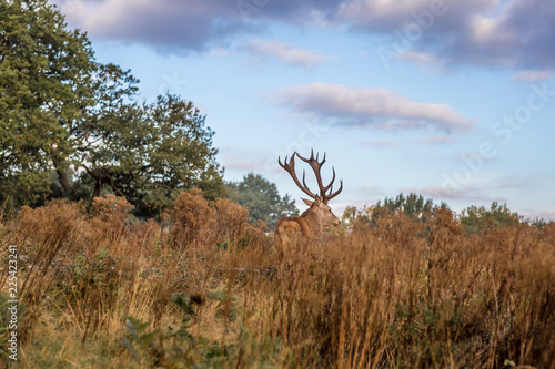 Poster Hert Red deer in Richmond park in the autun, London
