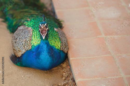 Fototapeta premium Zły ptak otworzył usta i syczał groźnie na potencjalnego wroga. Wściekły ptak na podłodze z otwartym dziobem. Piękny paw leżący na płytce.