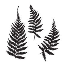 Vector Fern Silhouette Collect...