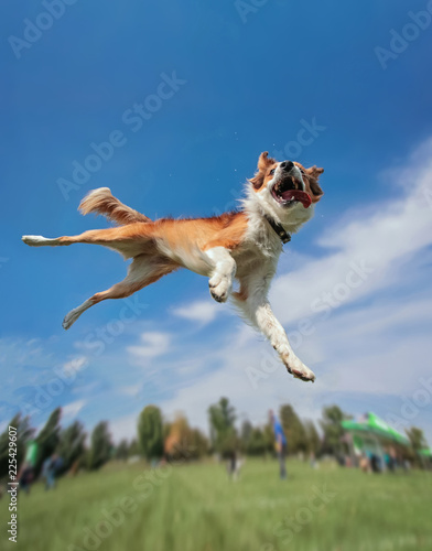 Fotografie, Obraz  an australian shepherd collie jumping high in the air in a wide angle shot playi