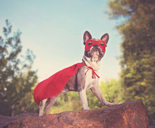 Cute French Bulldog In A Super...