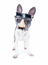 Cute French Bulldog Wearing A ...