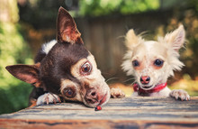 Two Chute Chihuahuas Looking At A Ladybug On A Wooden Table On A Hot Summer Day