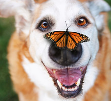 Senior Dog Laying In The Grass In A Backyard Smiling At The Camera With A Butterfly On His Nose