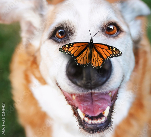 senior dog laying in the grass in a backyard smiling at the camera with a butter Canvas Print