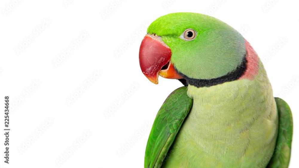 Alexandrine Parrot Closeup With Copy Space